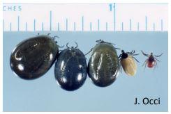 blacklegged ticks J Occi