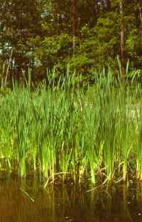 cattail swamp